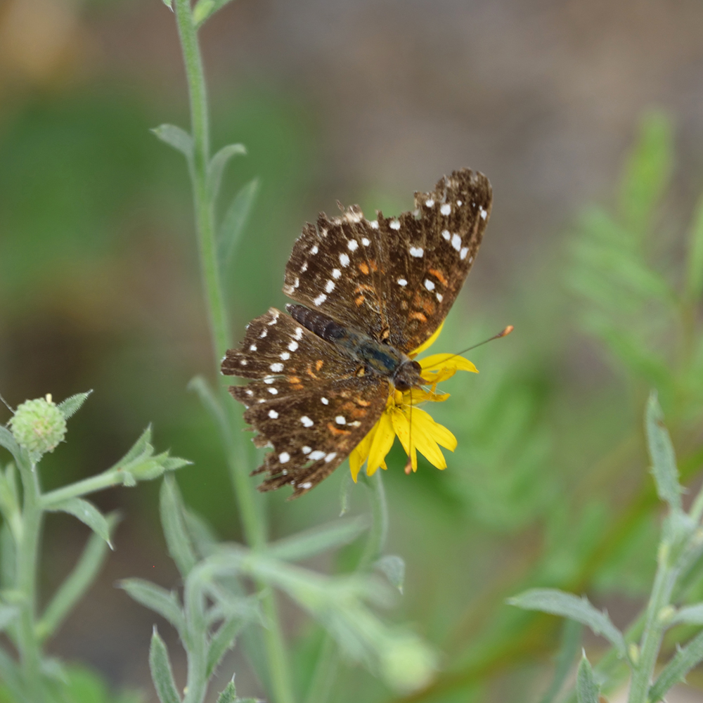 Texan Crescent auf Wildblume (Brewster Co., Texas)