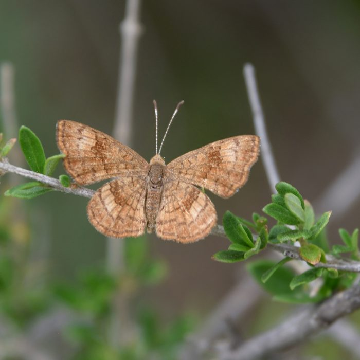 Fatal Metalmark auf Strauch (Brewster Co., Texas)