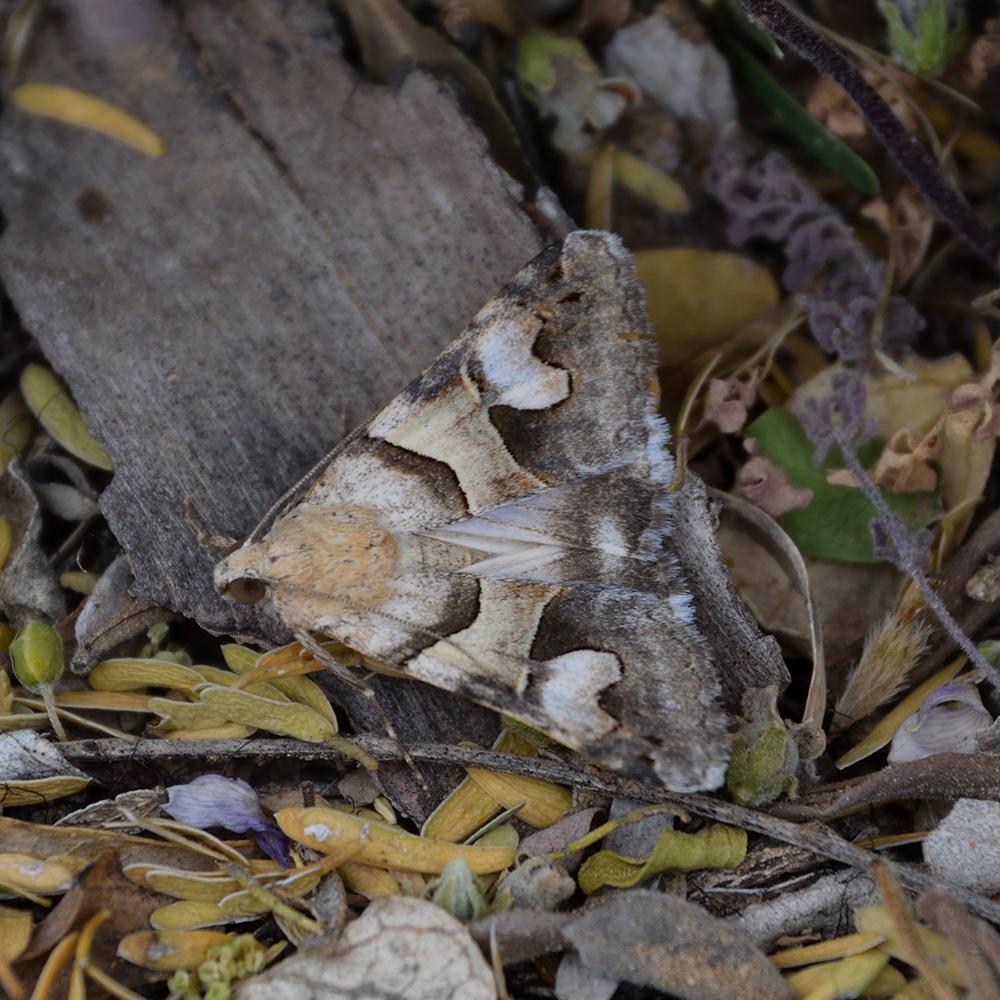 Cowhead arches (Drasteria pallescens) am Boden (Brewster Co., Texas)