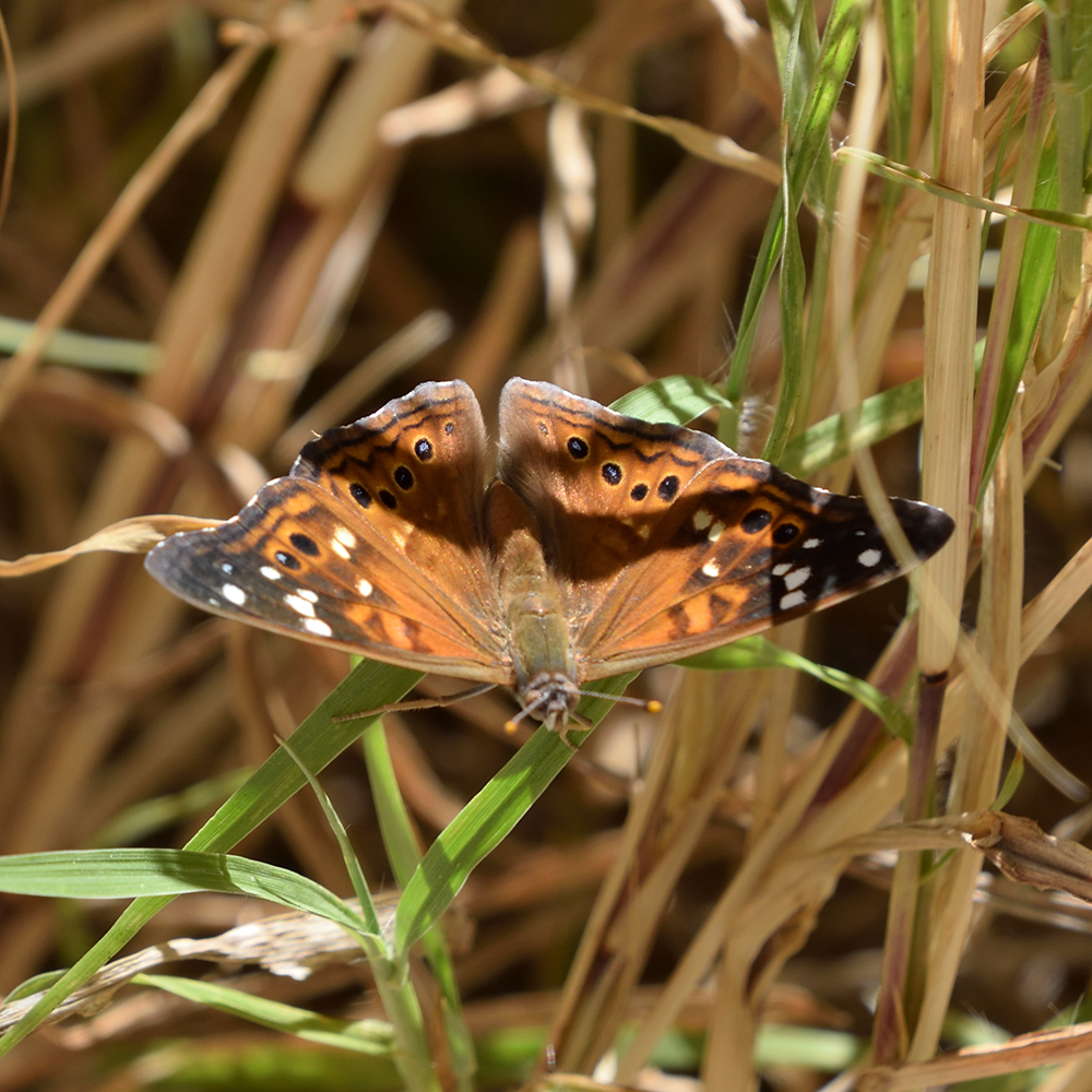Empress Leilia auf Gras (Brewster Co., Texas)