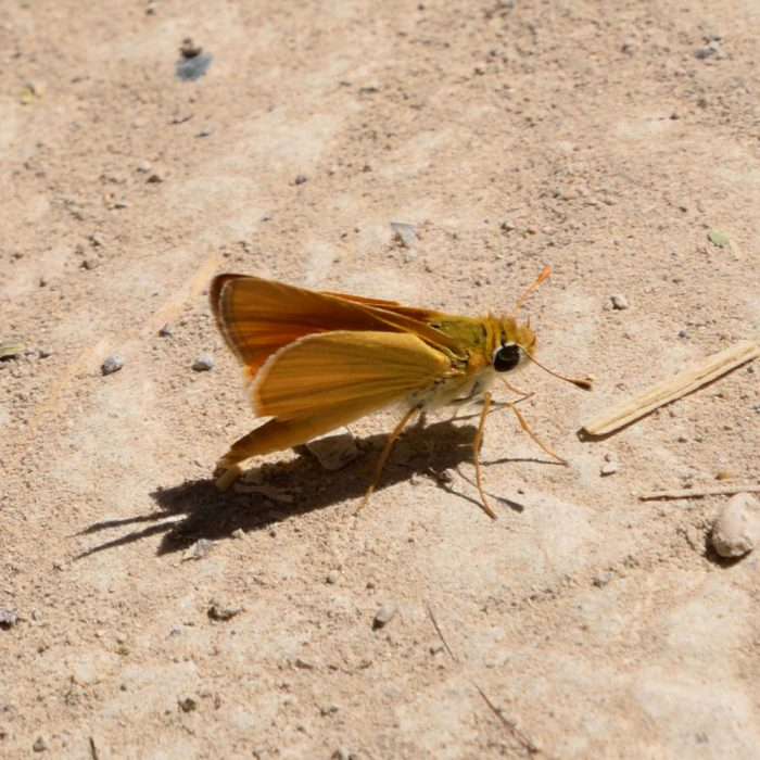 Orange Skipperling am Boden (Brewster Co., Texas)