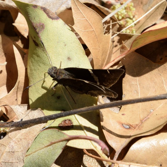 Chisos Banded-Skipper am Boden (Brewster Co., Texas)