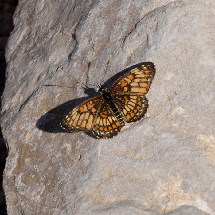 Theona Checkerspot am Boden (Brewster Co., Texas)