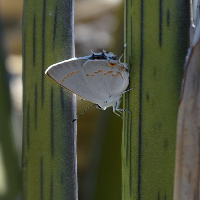Big Bend Scrub-Hairstreak auf Agave (Brewster Co., Texas)