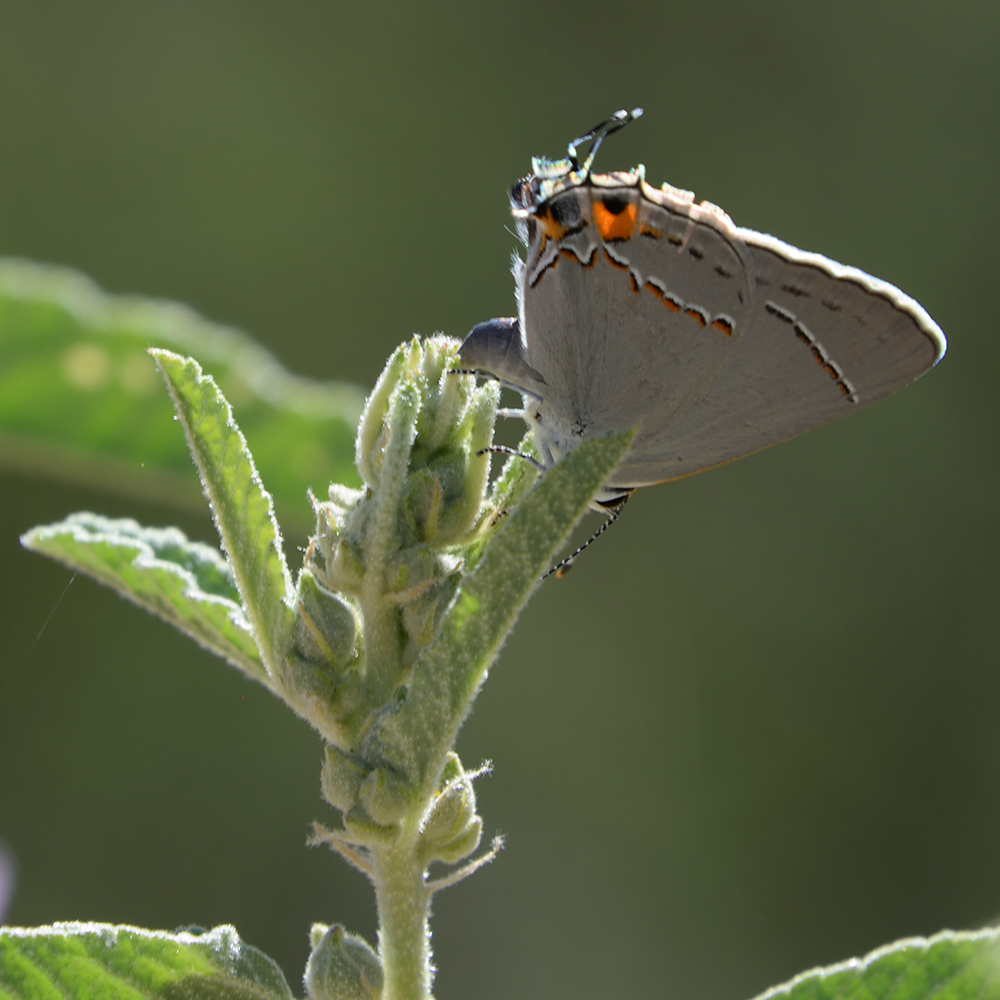 Gray Hairstreak auf Wildblume (Brewster Co., Texas)