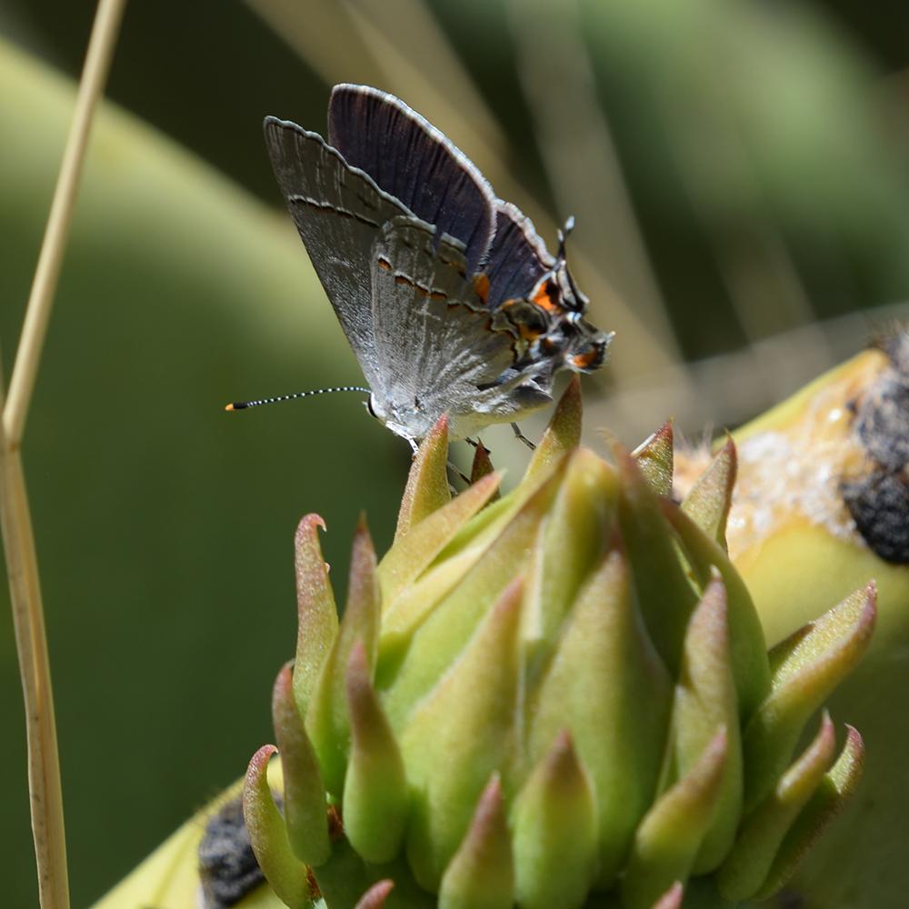 Gray Hairstreak auf Opuntia (Brewster Co., Texas)