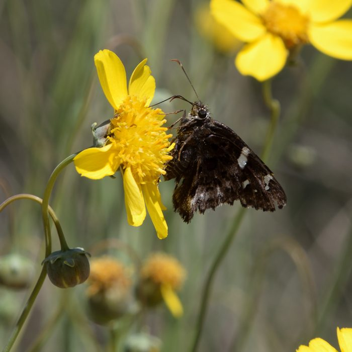 Arizona Skipper auf Wildblume (Brewster Co., Texas)