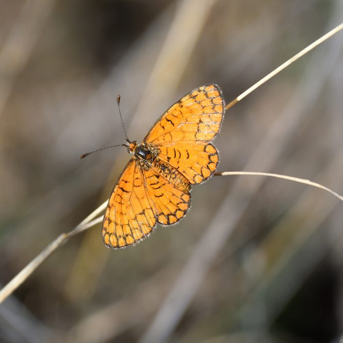 Tiny Checkerspot auf Gras (Pecos Co., Texas)