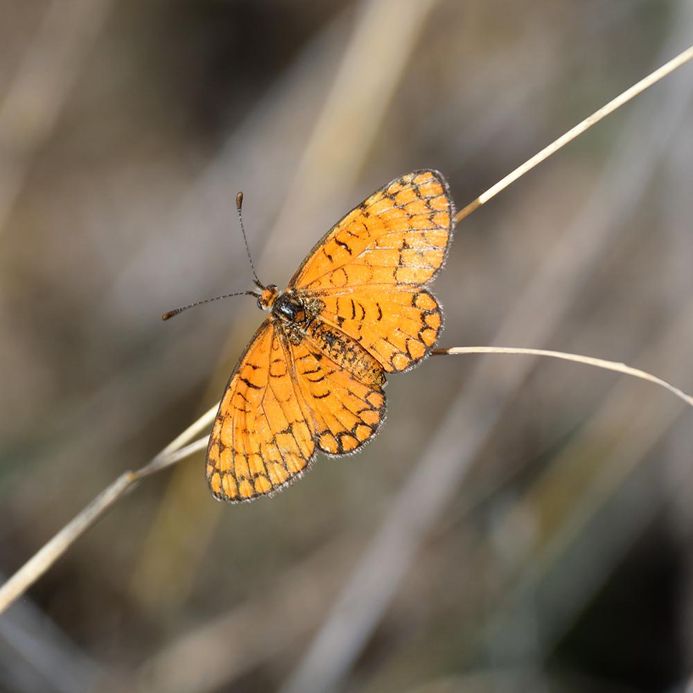 Tiny Checkerspot auf Gras (Pecos Co., Texas)