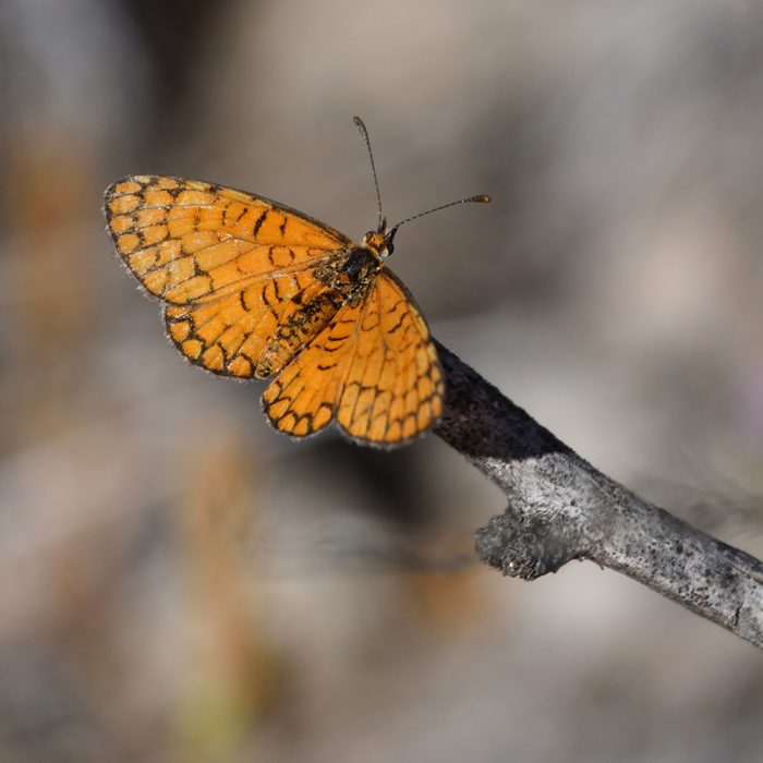Tiny Checkerspot auf Strauch (Pecos Co., Texas)