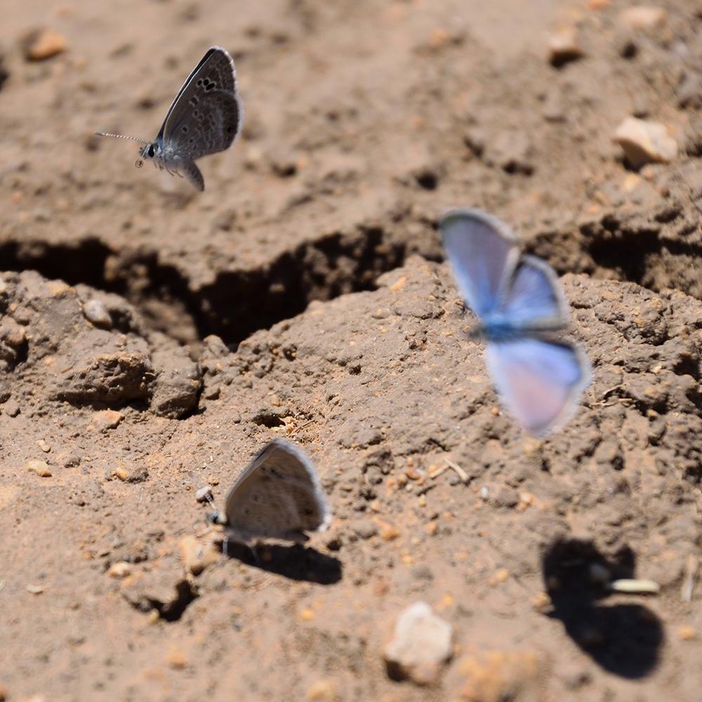 Reakirt's Blue am Boden (Pecos Co., Texas)