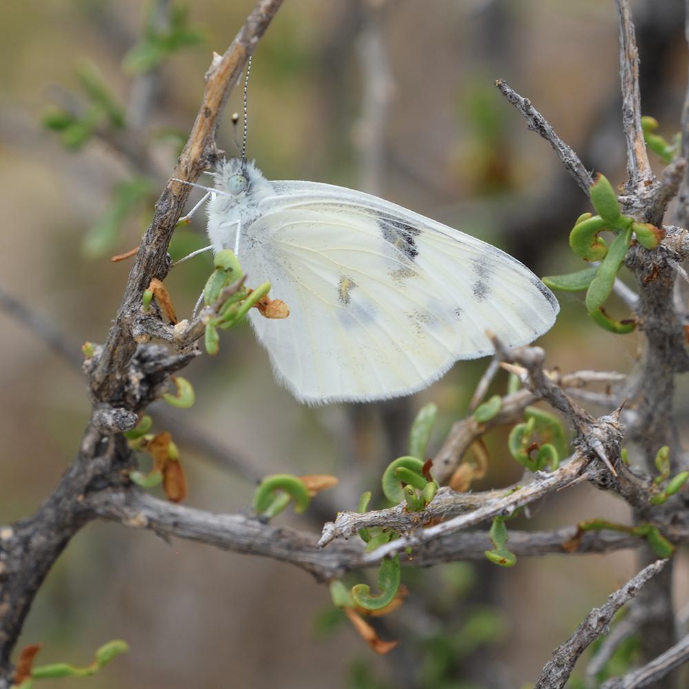 Checkered White auf Strauch (Pecos Co., Texas)