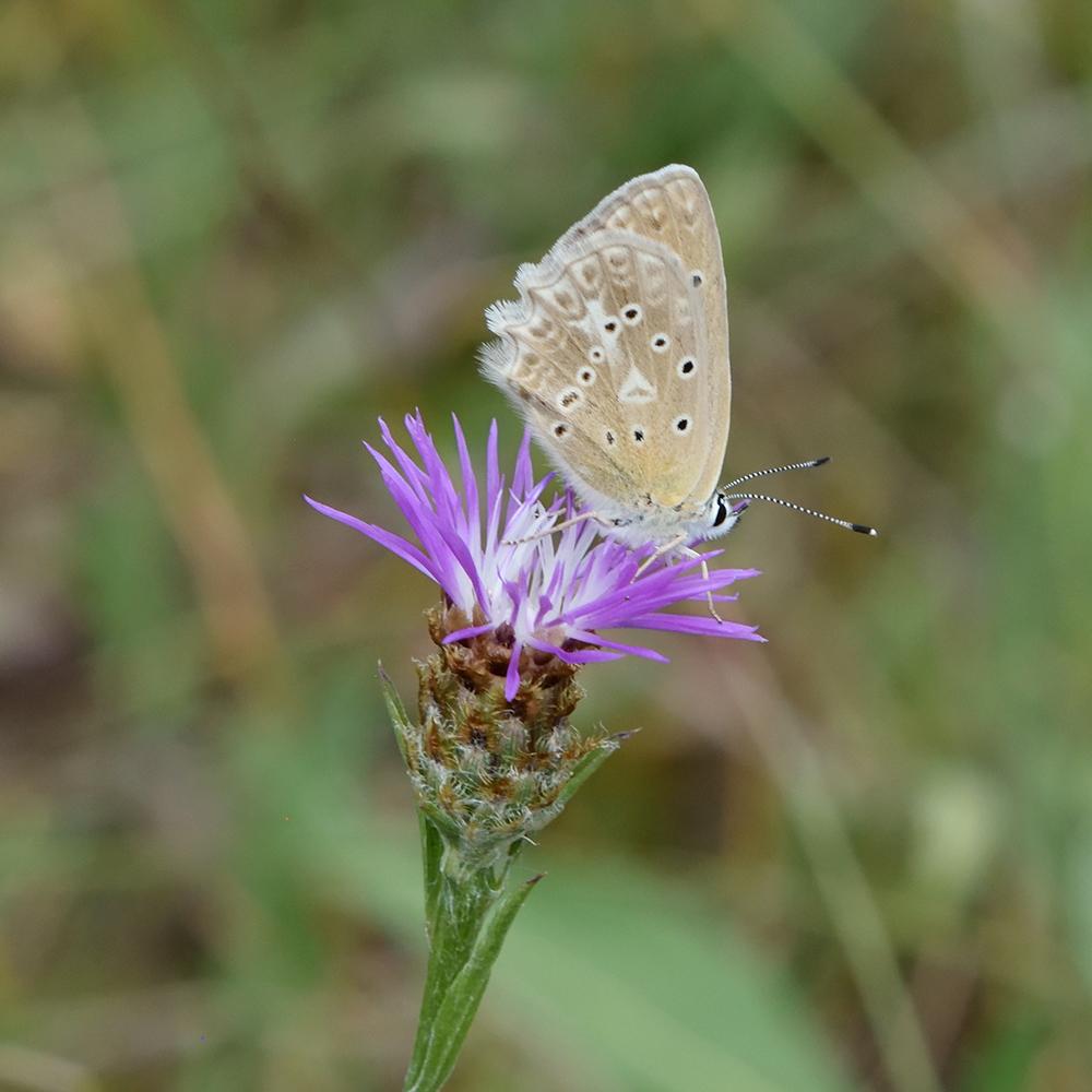 Zahnflügel-Bläuling auf Flockenblume