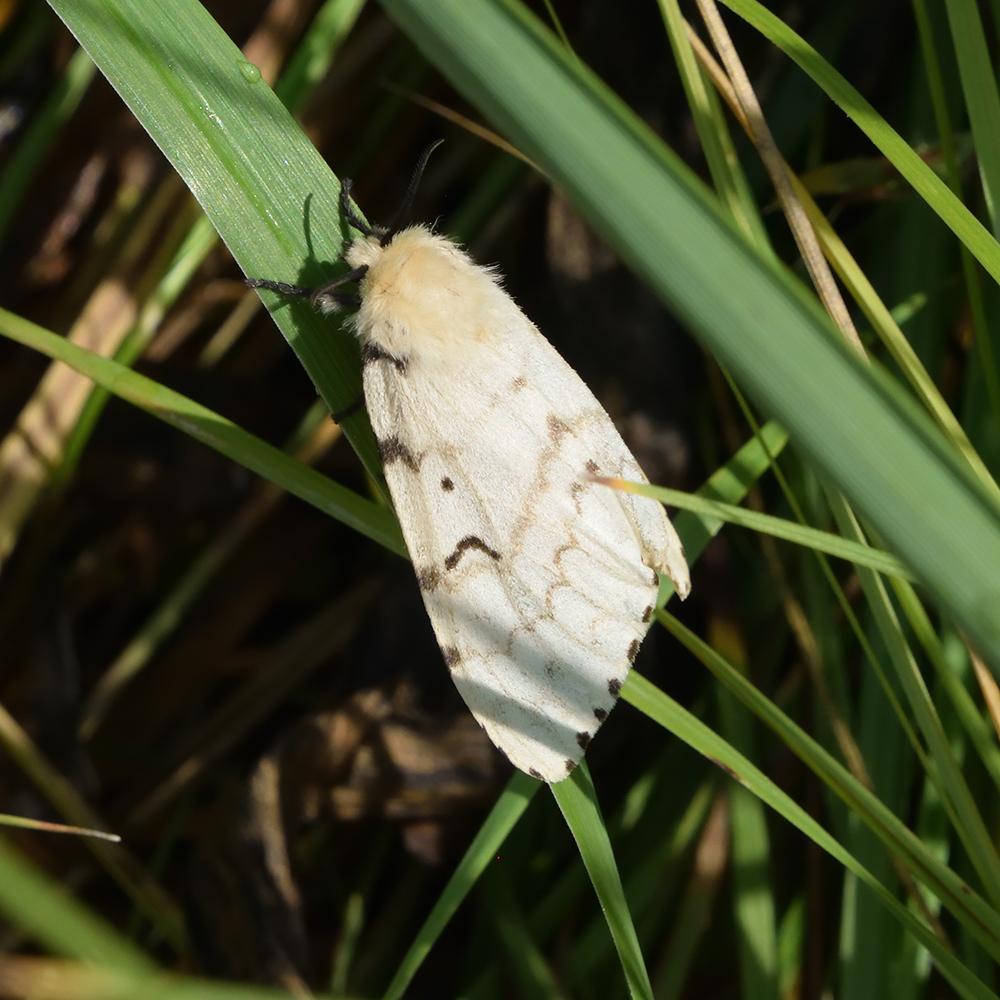 Schwammspinner auf Gras