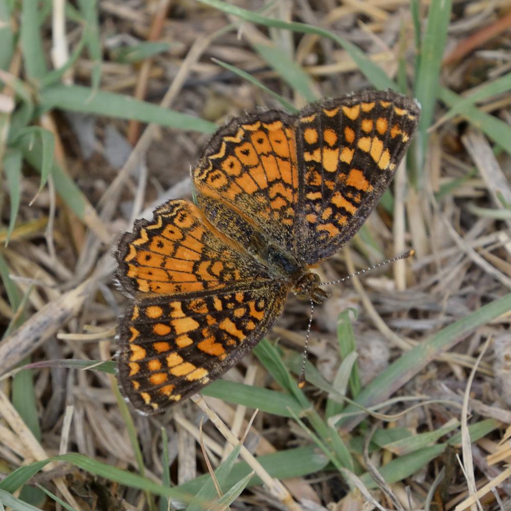 Vesta Crescent auf Gras (Pecos Co., Texas)