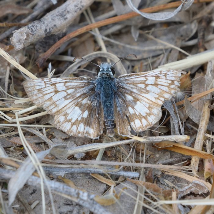 White Checkered Skipper am Boden (Pecos Co., Texas)