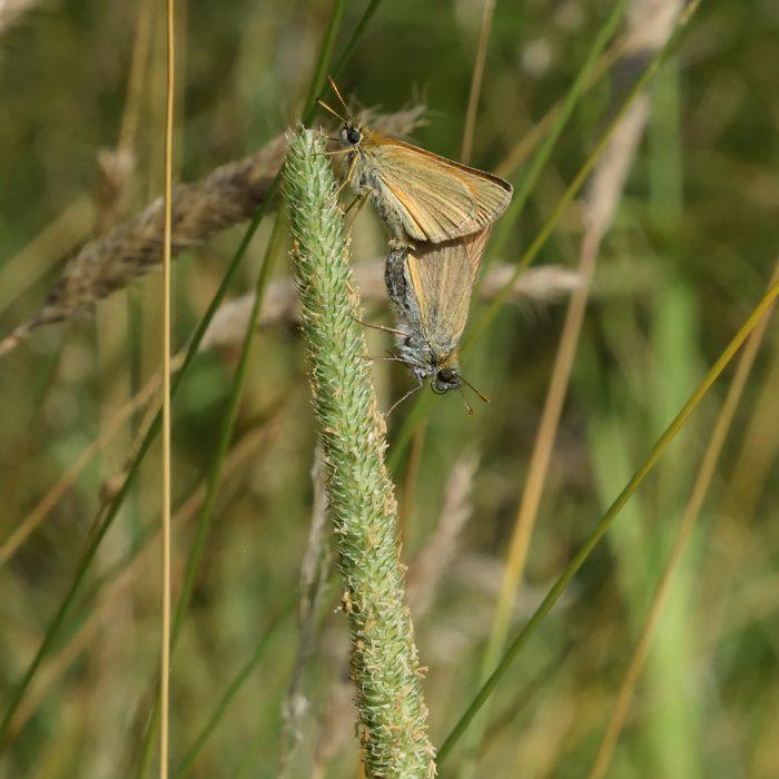 Braunkolbiger Braundickkopffalter auf Gras