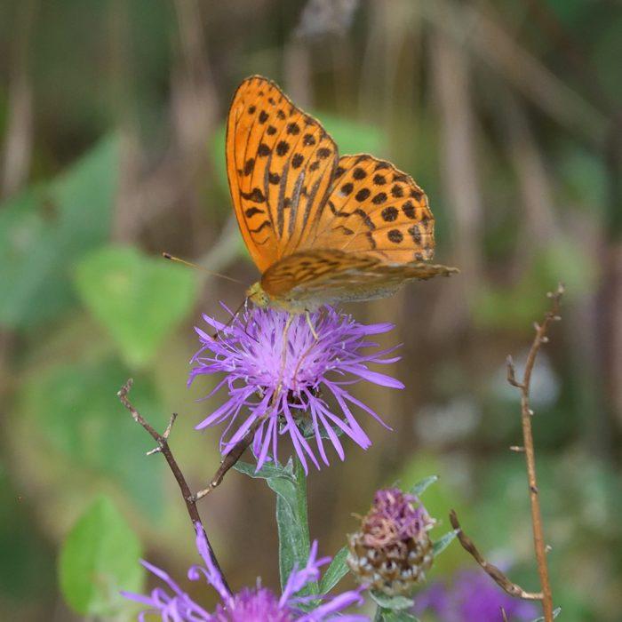 Kaisermantel auf Flockenblume