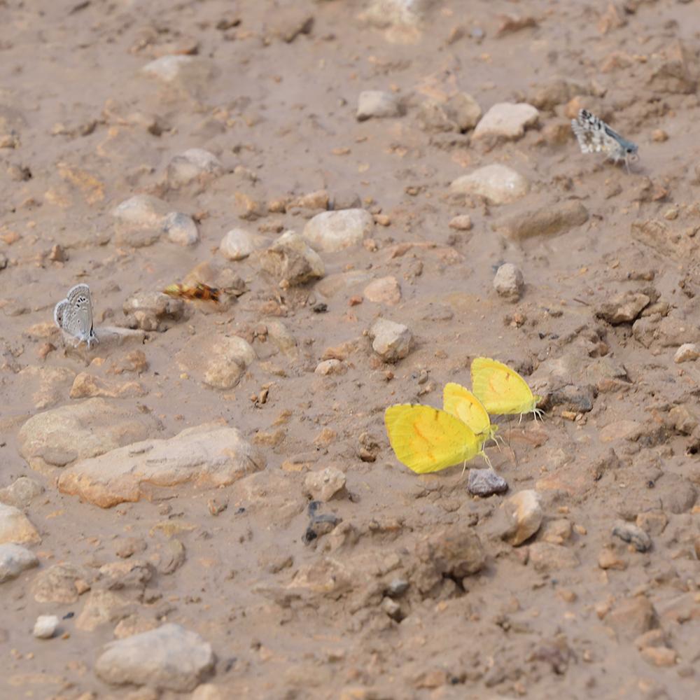 Reakirt's Blue, Common Checkered Skipper und Sleepy Orange am Boden (Pecos Co., Texas)