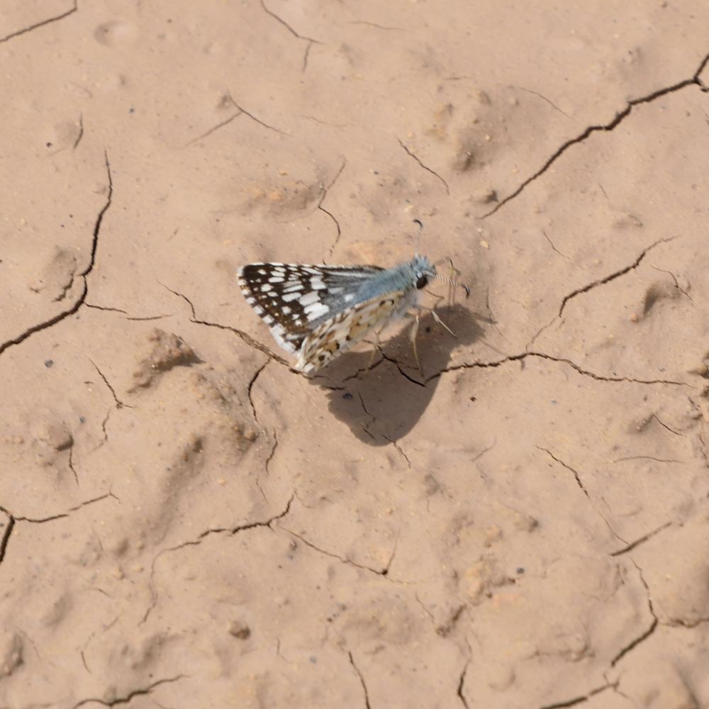 Common Checkered Skipper am Boden (Pecos Co., Texas)