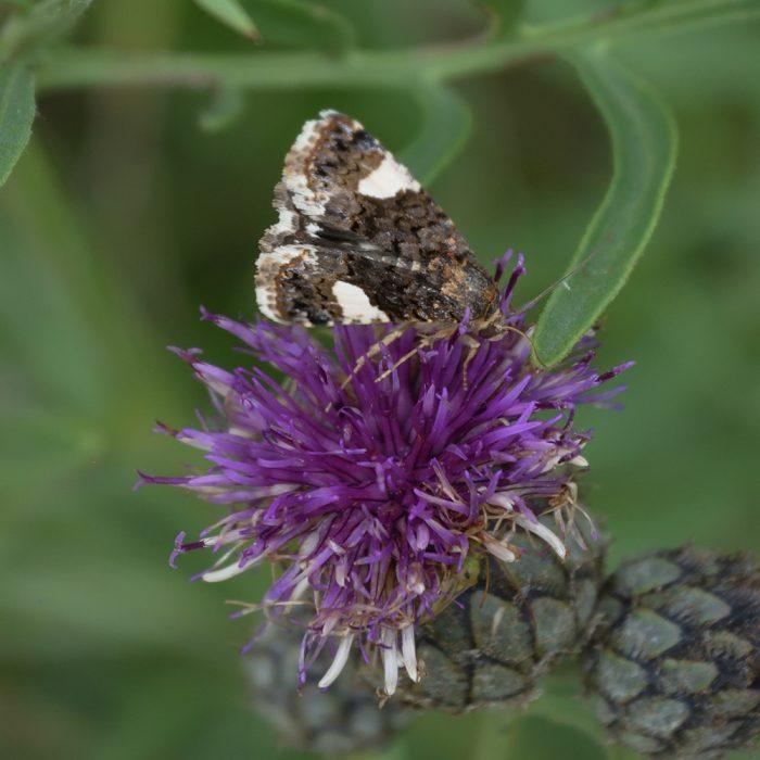 Ackerwinden-Trauereule auf Flockenblume