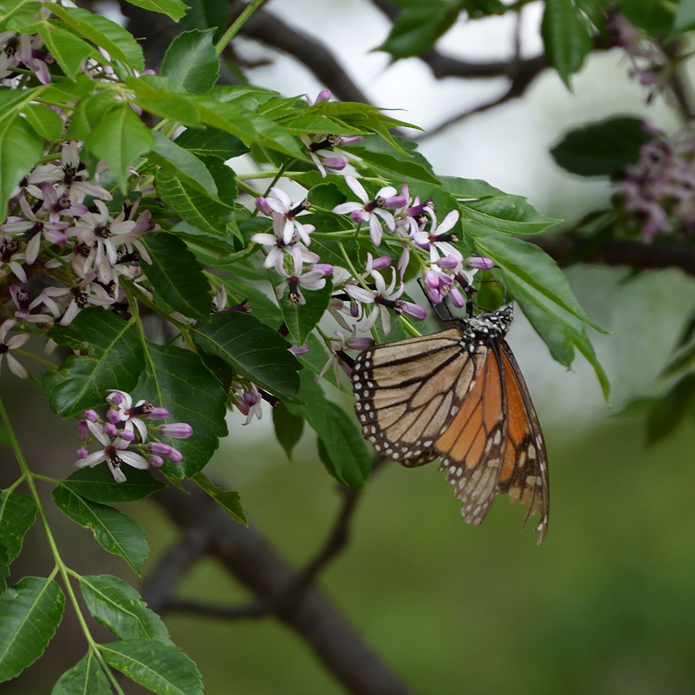 Monarch auf Baum (Pecos Co., Texas)