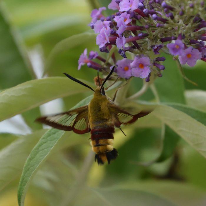 Hummelschwärmer auf Schmetterlingsflieder