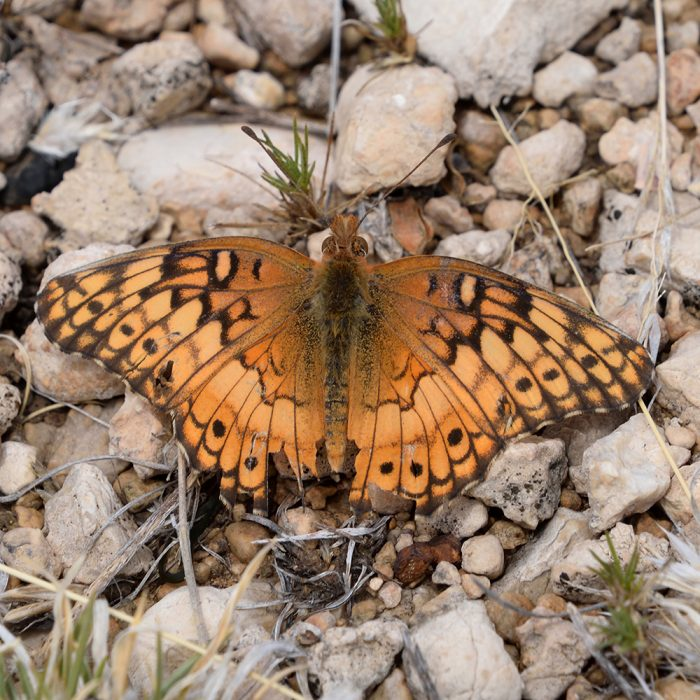 Variegated Fritillary am Boden (Culberson Co., Texas)