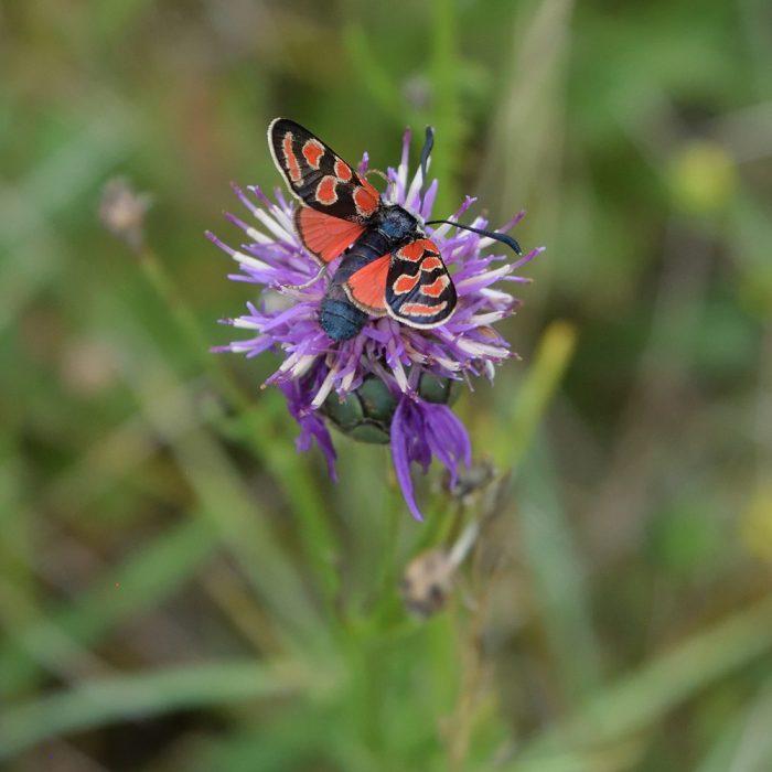 Esparsetten-Widderchen auf Flockenblume