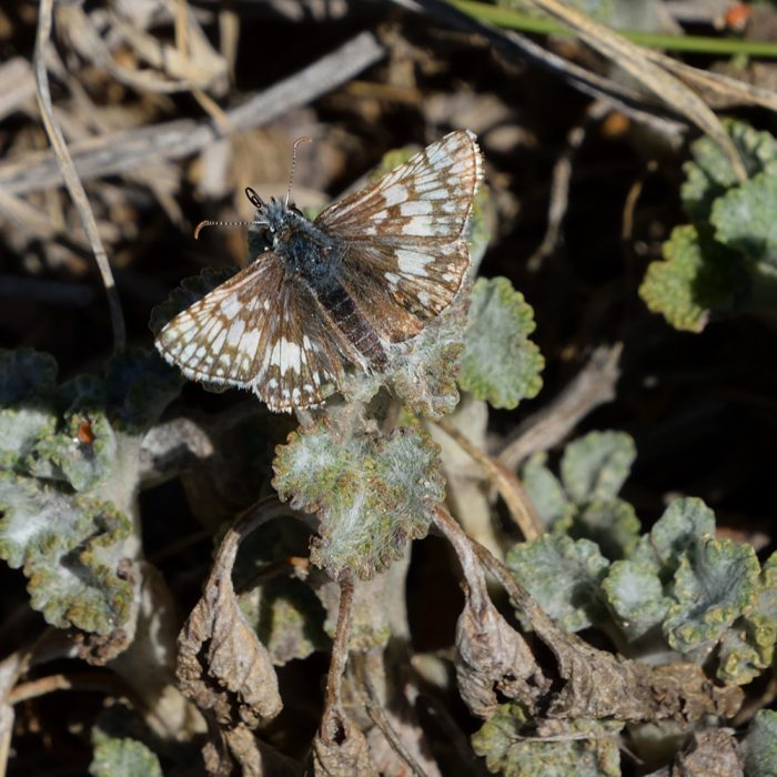 Common Checkered Skipper am Boden (Pecos Co., Texas)