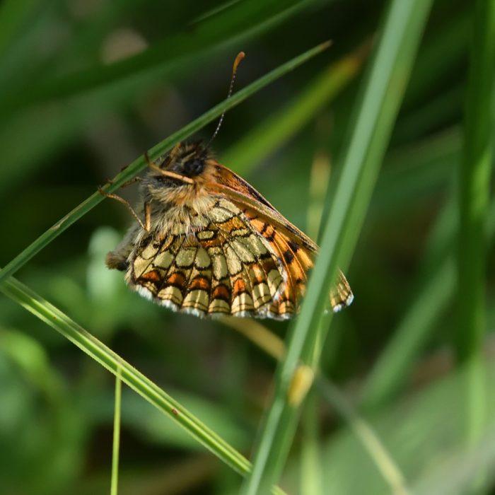 Wachtelweizen-Scheckenfalter auf Gras