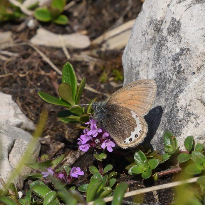 Alpen-Wiesenvögelchen auf Alpen-Thymian