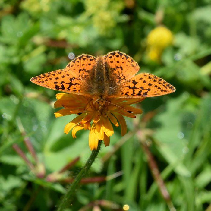 Kleiner Hochalpen-Perlmutterfalter auf Wildblume