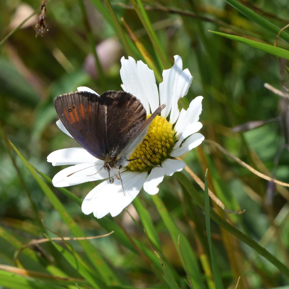 Schillernder Mohrenfalter auf Wildblume