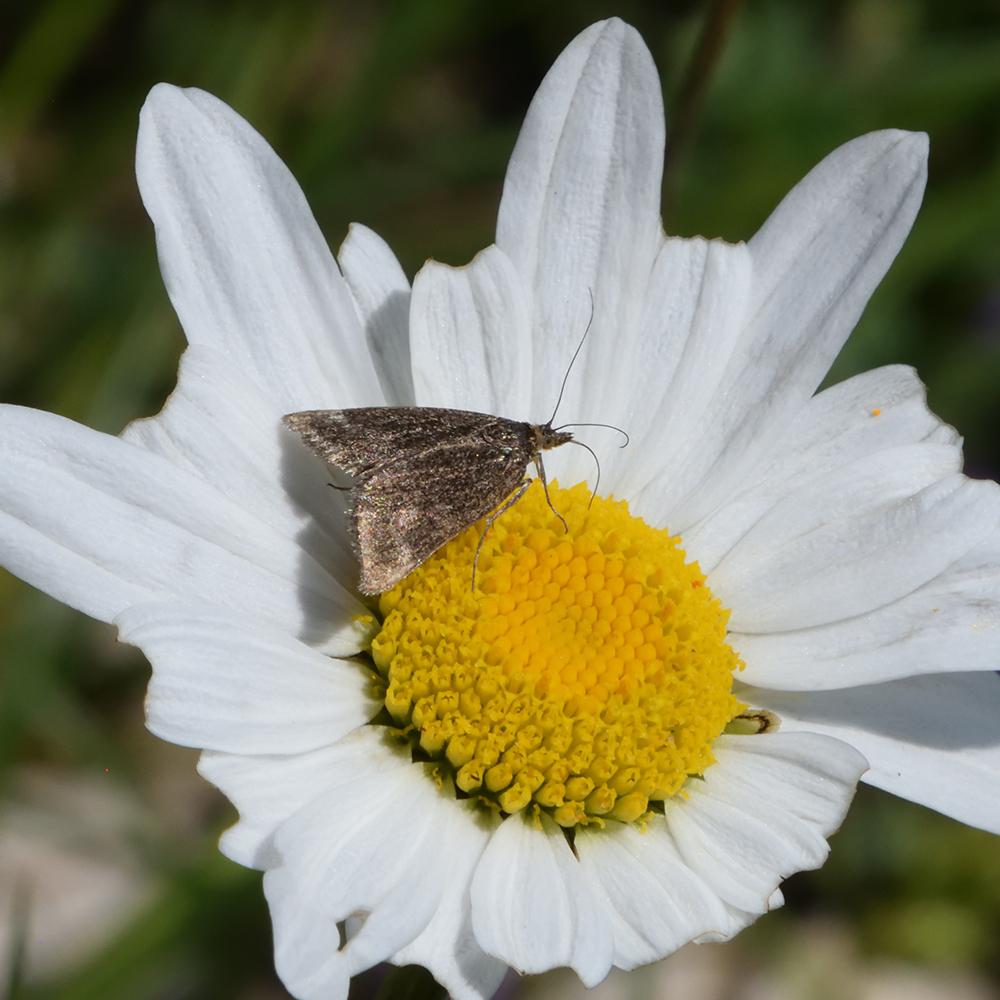 Zünsler auf Wildblume