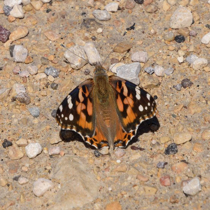 Painted Lady am Boden (Pecos Co., Texas)
