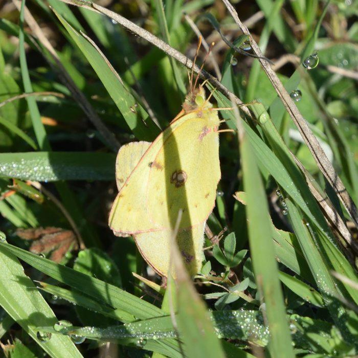 Gelbling auf Gras