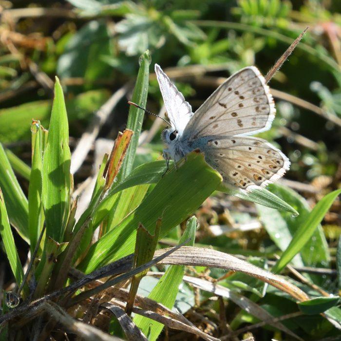 Silbergrüner Bläuling auf Gras