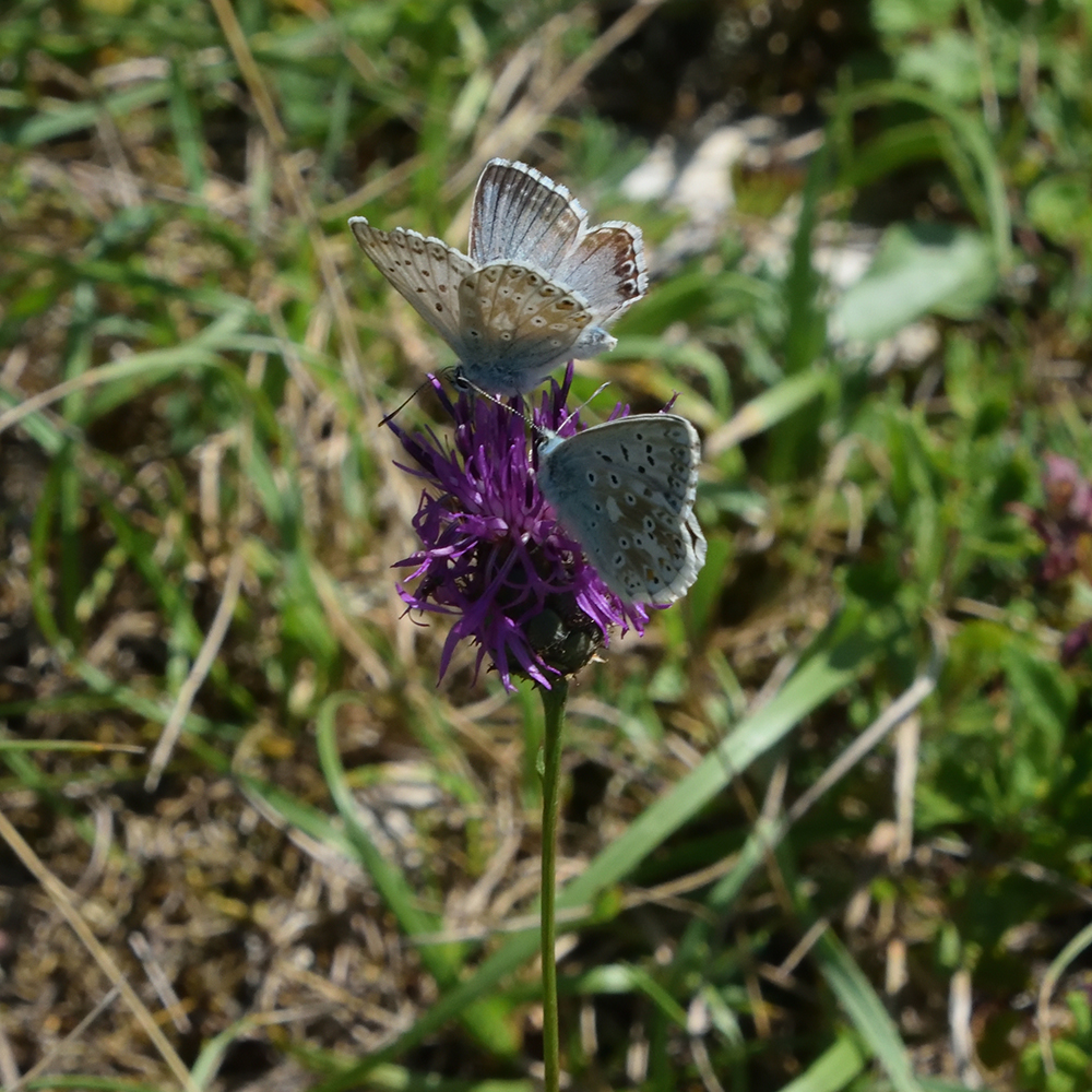 Silbergrüner Bläuling auf Flockenblume