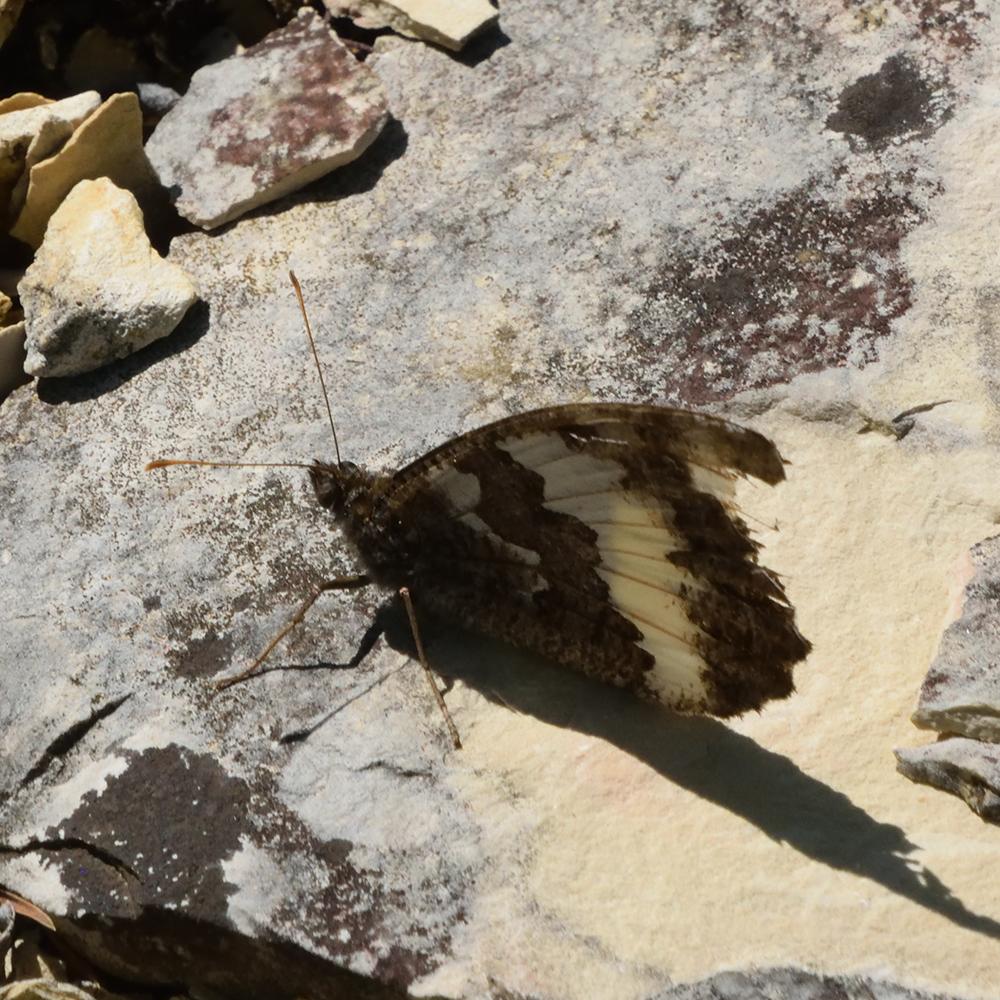 Weißer Waldportier auf Stein