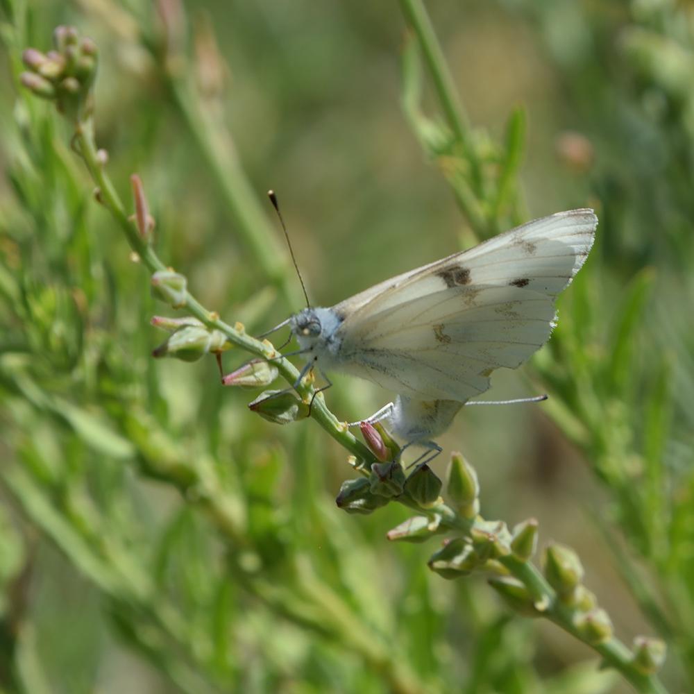 Checkered White auf Wildblume (Pecos Co., Texas)