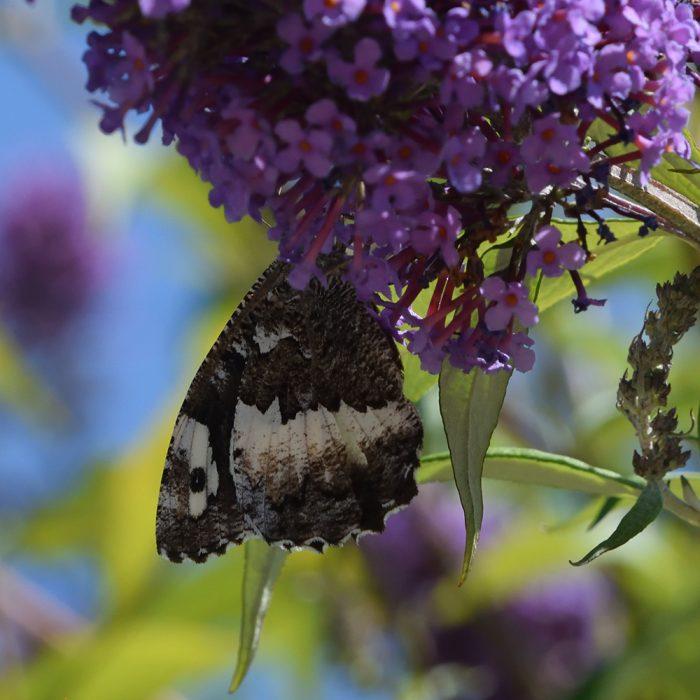 Weißer Waldportier auf Schmetterlingsflieder
