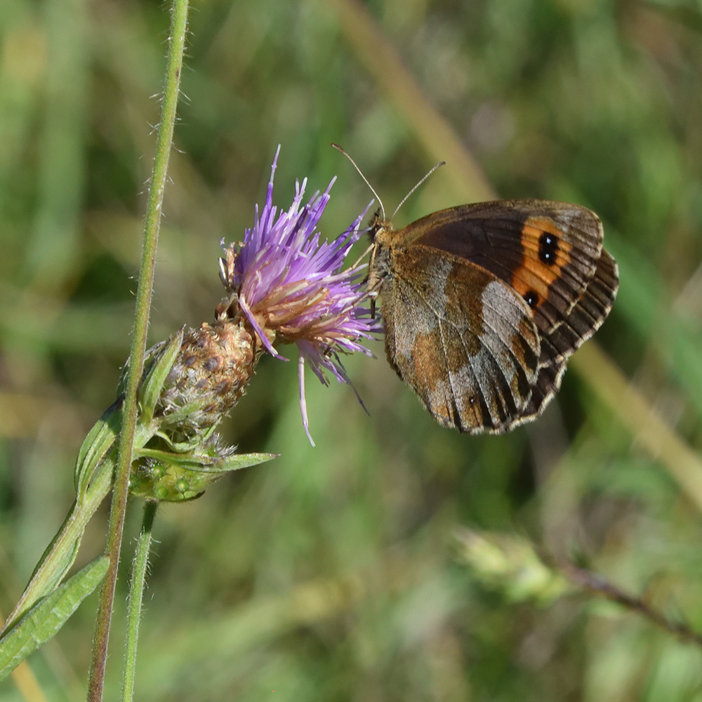 Graubindiger Mohrenfalter auf Flockenblume