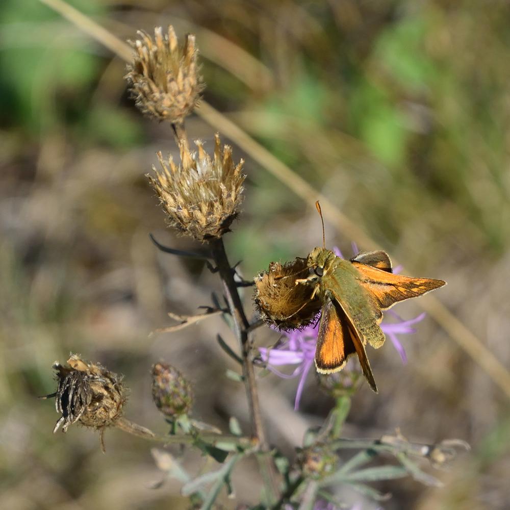 Rostfarbiger Dickkopffalter auf Flockenblume