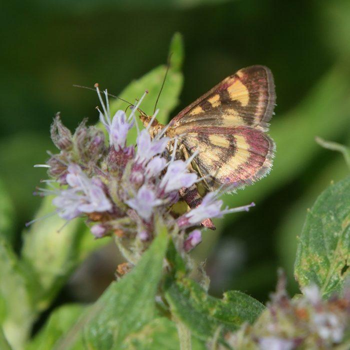 Purpurroter Zünsler auf Wildblume