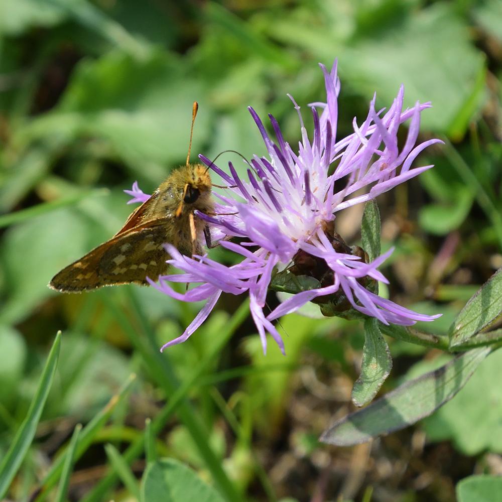 Komma-Dickkopffalter auf Flockenblume