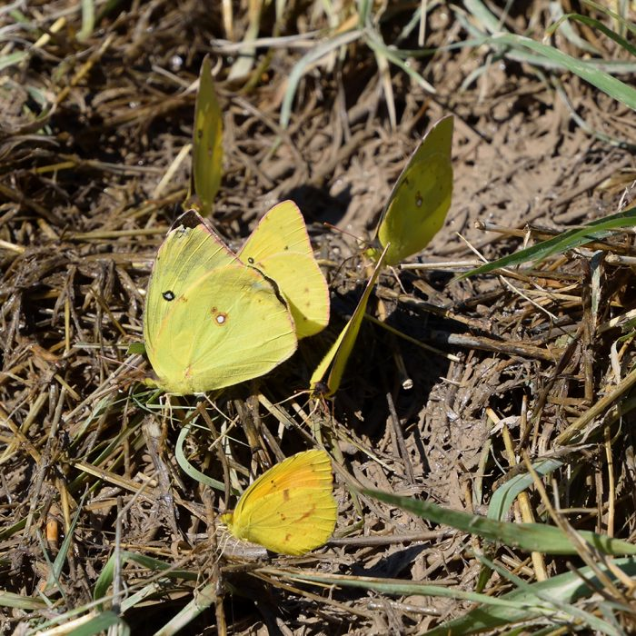Orange Sulphur, Sleepy Orange und Southern Dogface am Boden (Pecos Co., Texas)