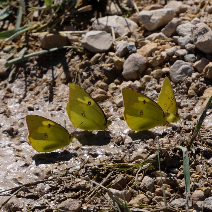 Southern Dogface und Orange Sulphur am Boden (Pecos Co., Texas)