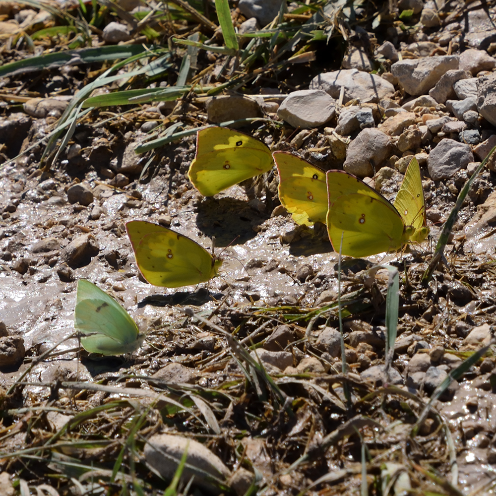 Lyside Sulphur, Southern Dogface und Orange Sulphur am Boden (Pecos Co., Texas)