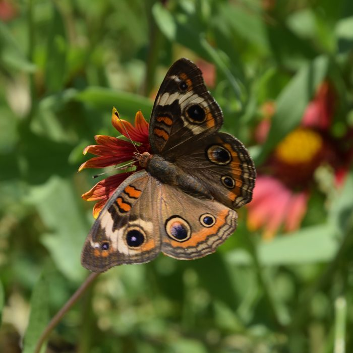 Common Buckeye auf Kokardenblume (Gonzales Co., Texas)